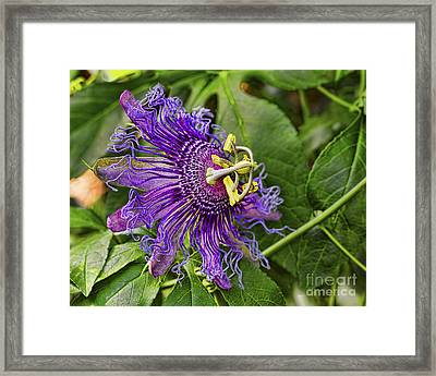 Purple Passion Framed Print by Gary Holmes