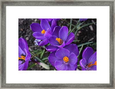 Framed Print featuring the photograph Purple Passion by Judy Palkimas