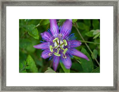 Purple Passion Framed Print by Natalie Hux