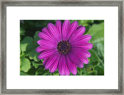 Purple Passion Framed Print by Sharin Gabl