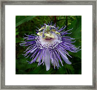 Purple Passionflower Framed Print