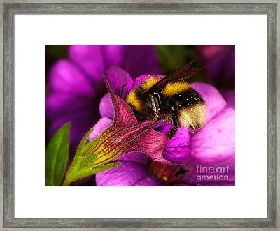 Purple Petunias With A Bumblebee Framed Print