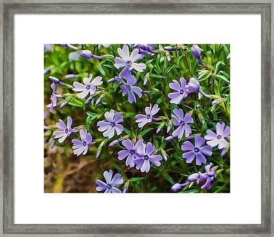 Purple Phlox Framed Print by Photos By  Cassandra
