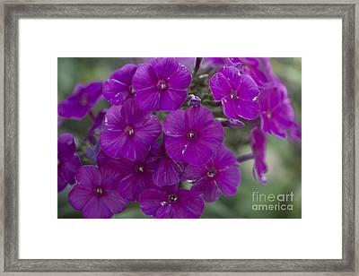 Purple Phlox Framed Print