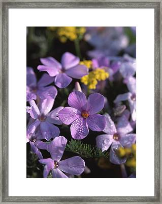 Purple Phlox Framed Print by Natural Selection Robert Potts