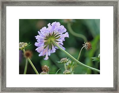 Purple Pincushion Flower Framed Print by Suzanne Gaff