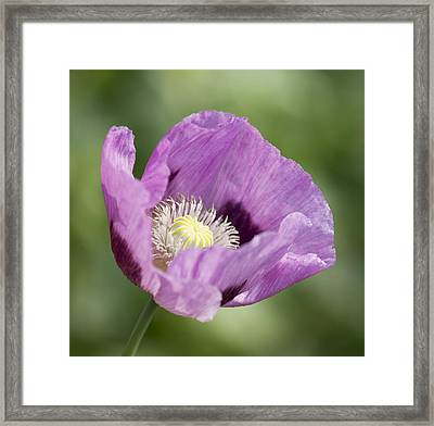 Purple Poppy Framed Print