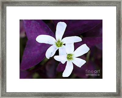 Purple Queen Flowers Framed Print by Sabrina L Ryan