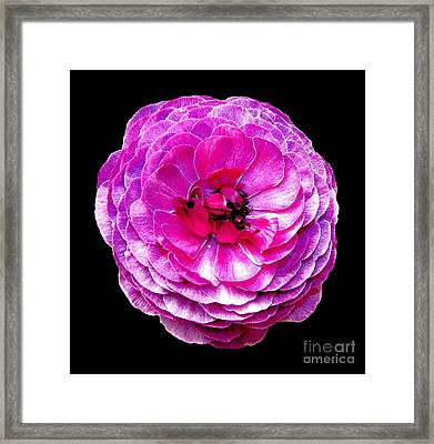 Purple Ranunculus Framed Print by Rose Santuci-Sofranko