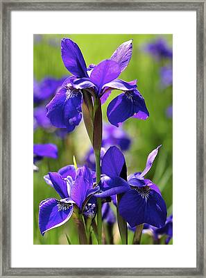 Framed Print featuring the photograph Purple Reign by Sandy Molinaro