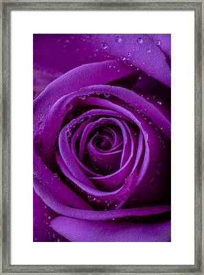Purple Rose Close Up Framed Print by Garry Gay