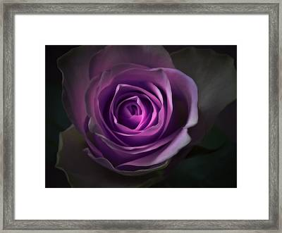 Purple Rose Flower - Macro Flower Photograph Framed Print by Artecco Fine Art Photography