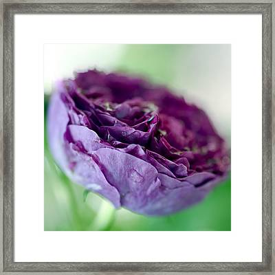 Purple Rose Framed Print by Frank Tschakert