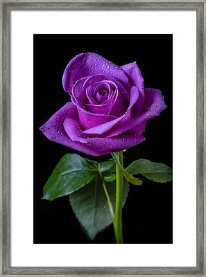 Purple Rose Framed Print by Garry Gay