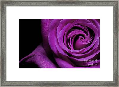 Purple Roses Closeup Framed Print