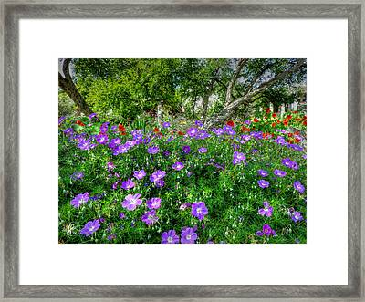 Purple Rozanne Geraniums 001 Framed Print by Lance Vaughn