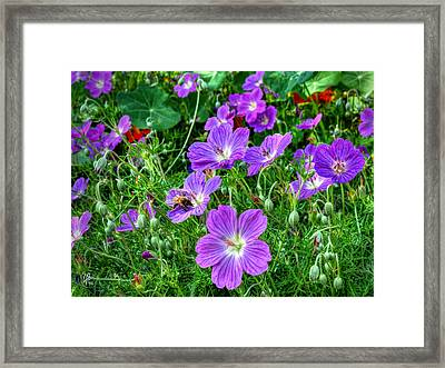 Purple Rozanne Geraniums 002 Framed Print by Lance Vaughn