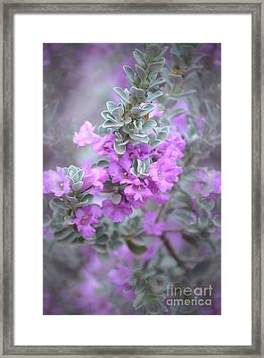 Purple Sage Framed Print by Deb Halloran