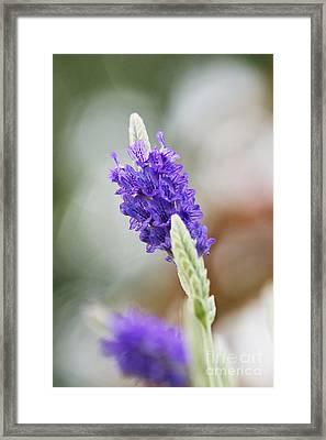 Purple Sage Framed Print by Pamela Gail Torres