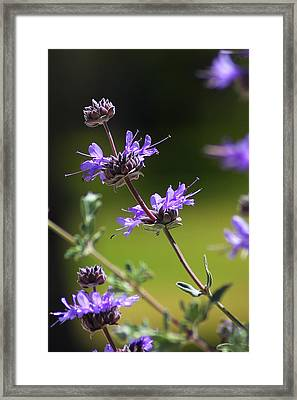 Purple Sage Framed Print