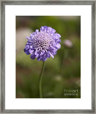 Purple Scabious Columbaria Framed Print by Tony Cordoza