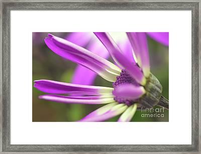 Purple Senetti I Framed Print by Cate Schafer
