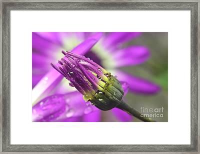 Purple Senetti II Framed Print by Cate Schafer