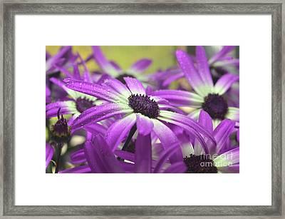 Purple Senetti Iv Framed Print by Cate Schafer