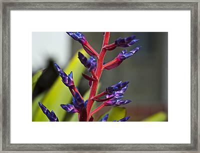 Purple Spike Bromeliad Framed Print