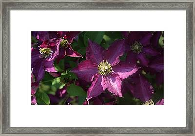 Purple Star Clematis...   # Framed Print by Rob Luzier