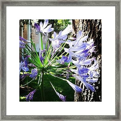 Purple Starburst Framed Print