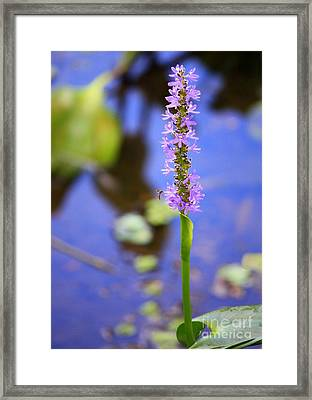 Purple Swamp Flower Framed Print by Carol Groenen