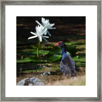 Purple Swamphen Admiring The Water Lilies Framed Print by Mr Bennett Kent