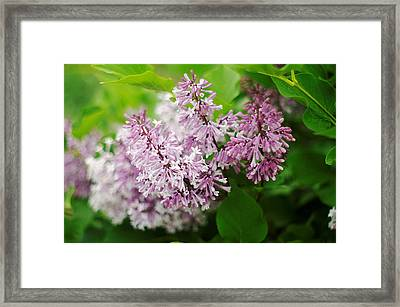Framed Print featuring the photograph Purple Syringa Flowers by Suzanne Powers