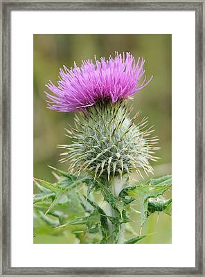 Purple Thistle Framed Print by Jeremy Voisey