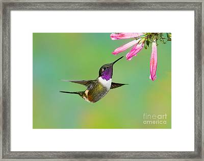 Purple-throated Woodstar Framed Print by Anthony Mercieca