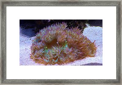 Framed Print featuring the photograph Purple Tipped Anemone by Brigitte Emme