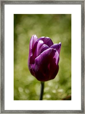 Purple Tulip Framed Print by Donna Stiffler
