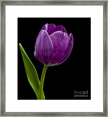 Purple Tulip Framed Print by Shirley Mangini