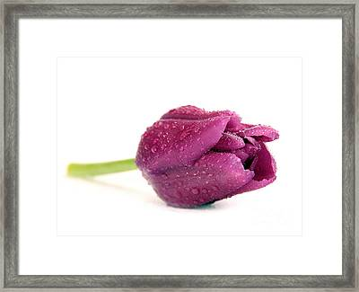 Purple Tulips  Flower Framed Print by Boon Mee