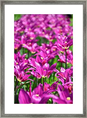 Purple Tulips Framed Print by Gynt