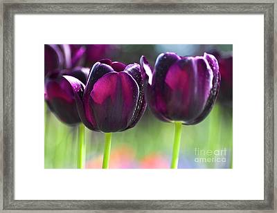 Purple Tulips Framed Print by Heiko Koehrer-Wagner