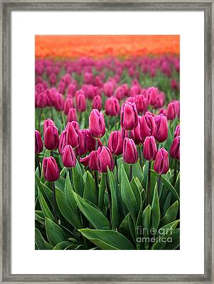 Purple Tulips Framed Print by Inge Johnsson