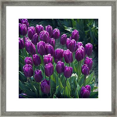 Purple Tulips Framed Print by Yulia Kazansky