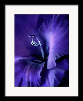 Purple Gladiola Framed Prints