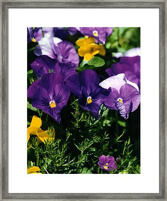 Purple Violas Framed Print by Robert Lozen