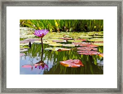 Purple Water Lily Flower In Lily Pond Framed Print by Susan Schmitz