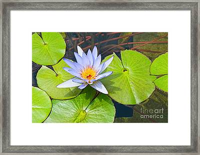 Purple Water Lily In Pond. Framed Print