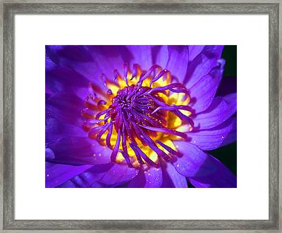 Purple Water Lily Macro Framed Print by Kaleidoscopik Photography
