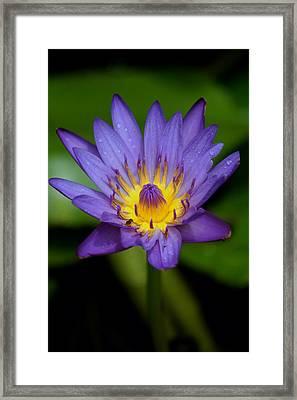 Purple Water Lily Framed Print by Pamela Walton